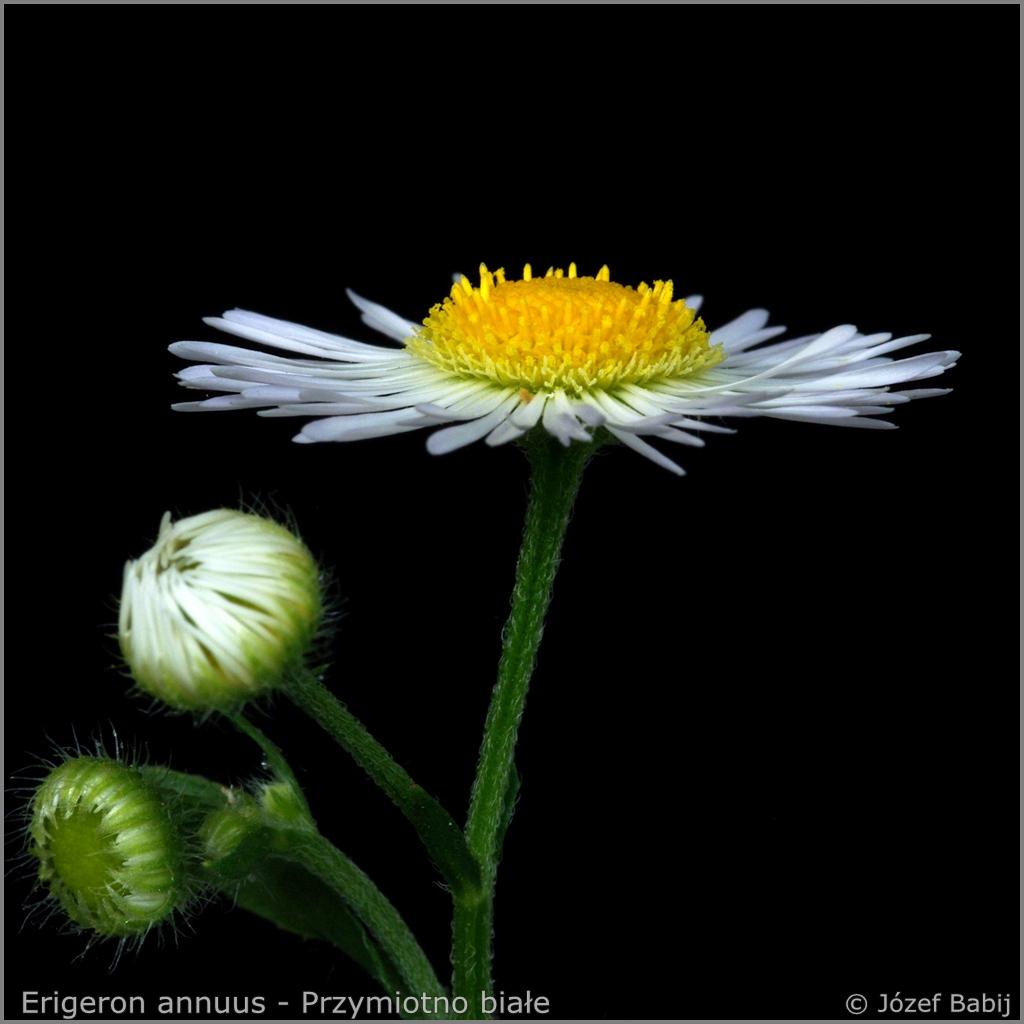 Erigeron annuus - Przymiotno białe
