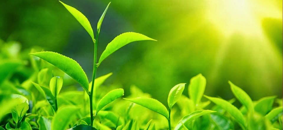 Tea exports top $ 1.5 billion target in 2013