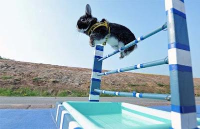 foto coelho no salto com barreira