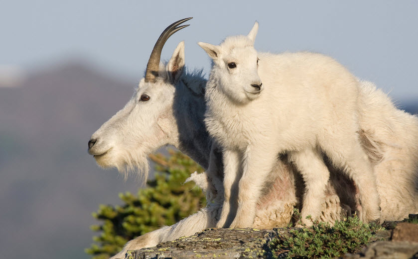 Funny Mountain Goat New Photos | Funny And Cute Animals