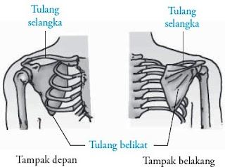 Tulang bahu selangka belikat