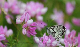 photo demi-deuil sur les fleurs papillon noir et blanc
