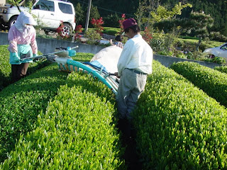 Spring teas being harvested in Japan for Japanese Green Tea and Shincha Tea