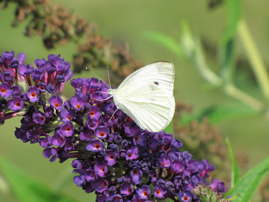 Cabbage Butterfly on Butterfly Bush