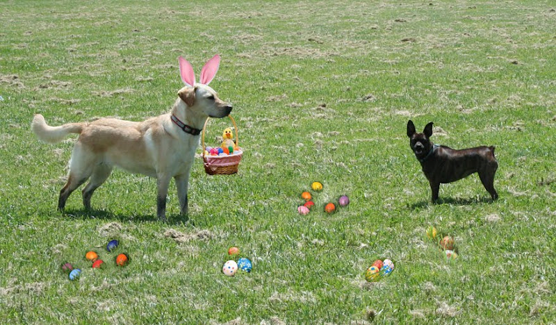 sideview of cabana standing in grassy field with easter basket, looking at a small brown chihuahua, the chihuahua is looking straight at the camera