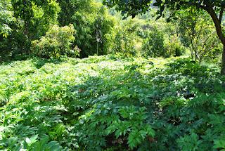 ladang ashitaba sembalun lawang lombok timur, lokasi budidaya ashitaba di Lombok. malaikat penyembuh dari negeri sakura menyembuhkan berbagai macam penyakit tanpa efek samping seperti obat-obatan kimia lainnya.