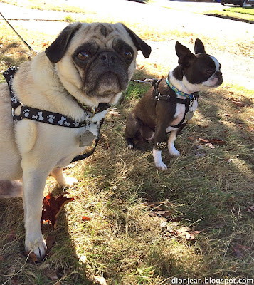 Pug and Boston terrier suited up for a walk
