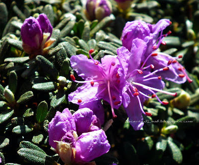 PJM Rhododendron lavender-pink flowers