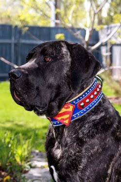 Helios with Superman collar