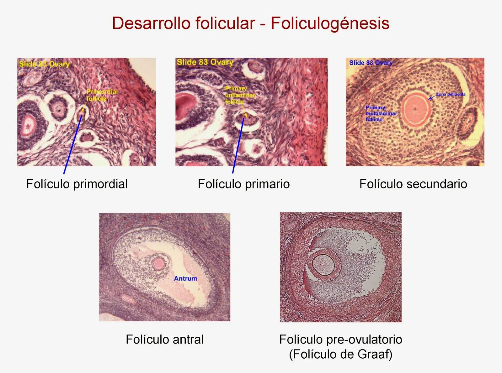Tipos de folículos según su estadio de maduración