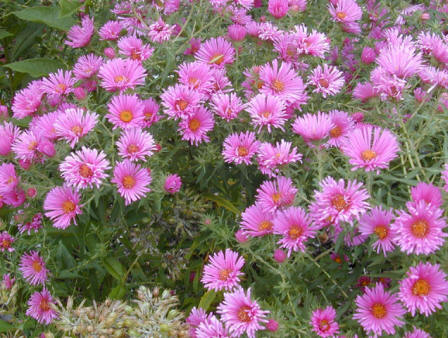 Piante e fiori bordo di piante erbacee perenni - Settembrini fiori ...