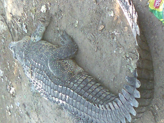 crocodile ahmedabad zoo