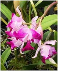 cathleya, tanaman hias, bunga anggrek