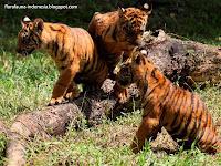 Anak Harimau Sumatera