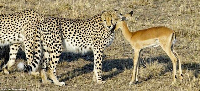 Dennis Huot - cheetah's - jachtluipaarden - Kenia - Masai Mara - bij de beesten af