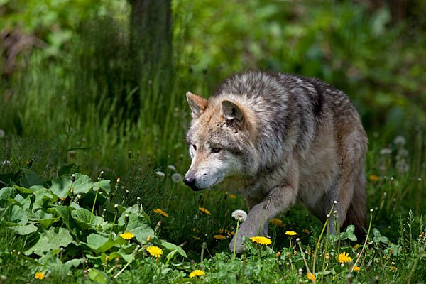 Mexican grey wolf - photo#18