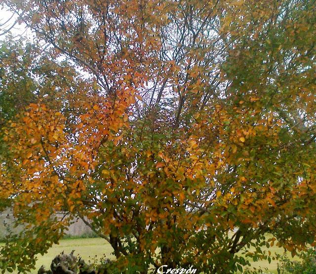 Crespon lagerstroemia con coloridas hojas