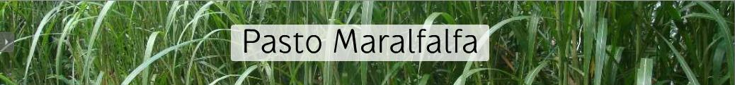 Pasto Maralfalfa, Chilmaral, altos rendimiento en forraje para tu ganado