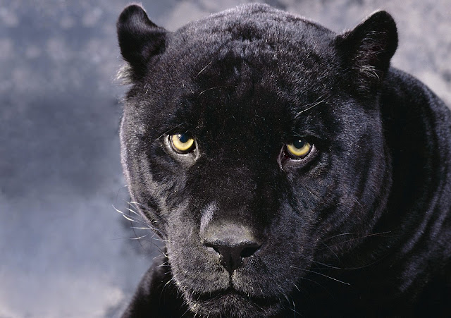 Big Black Cats Wallpapers