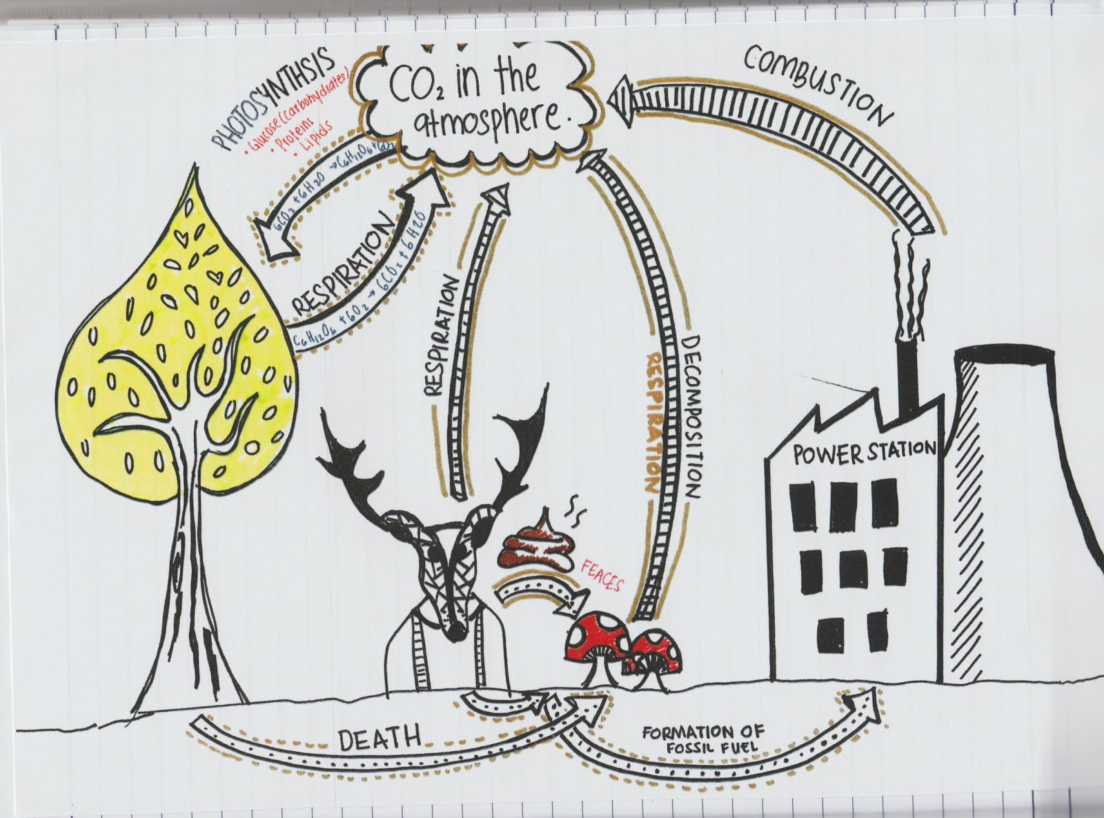 49 describe the stages in the carbon cycle including respiration 49 describe the stages in the carbon cycle including respiration photosynthesis decomposition and combustion ccuart Image collections