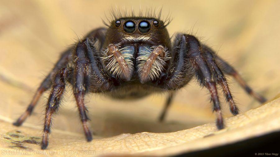 Phidippus clarus jumping spider