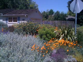 Eschscholzia californica in Land Park
