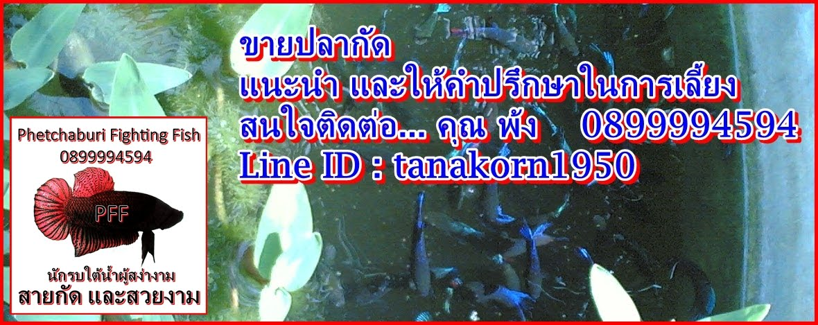 Phetchaburi Fighting Fish
