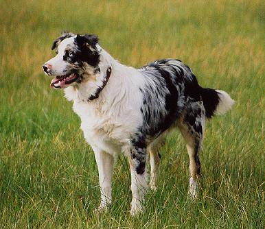 German koolie dog