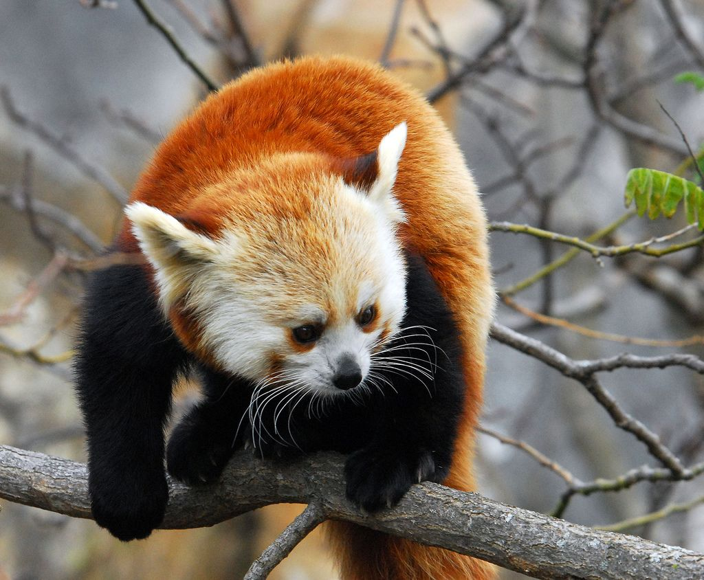 10. Red Panda Out On A Limb