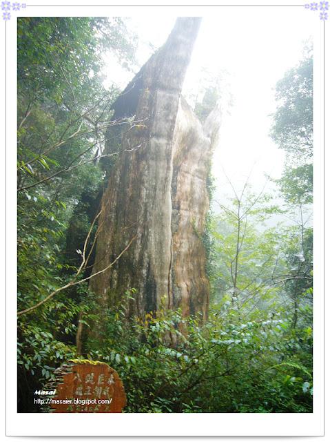 北橫拉拉山-八號巨木