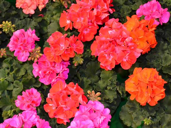 Flor pensamiento cuidar de tus plantas es - Geranio de pensamiento ...