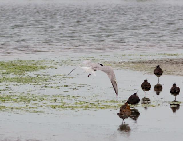 Gull-billed Tern, Burton Mere - Cheshire