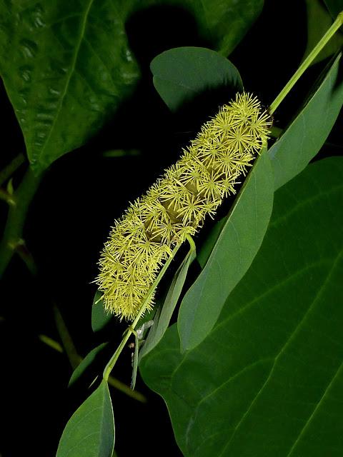 Hyperchiria azteca caterpillar