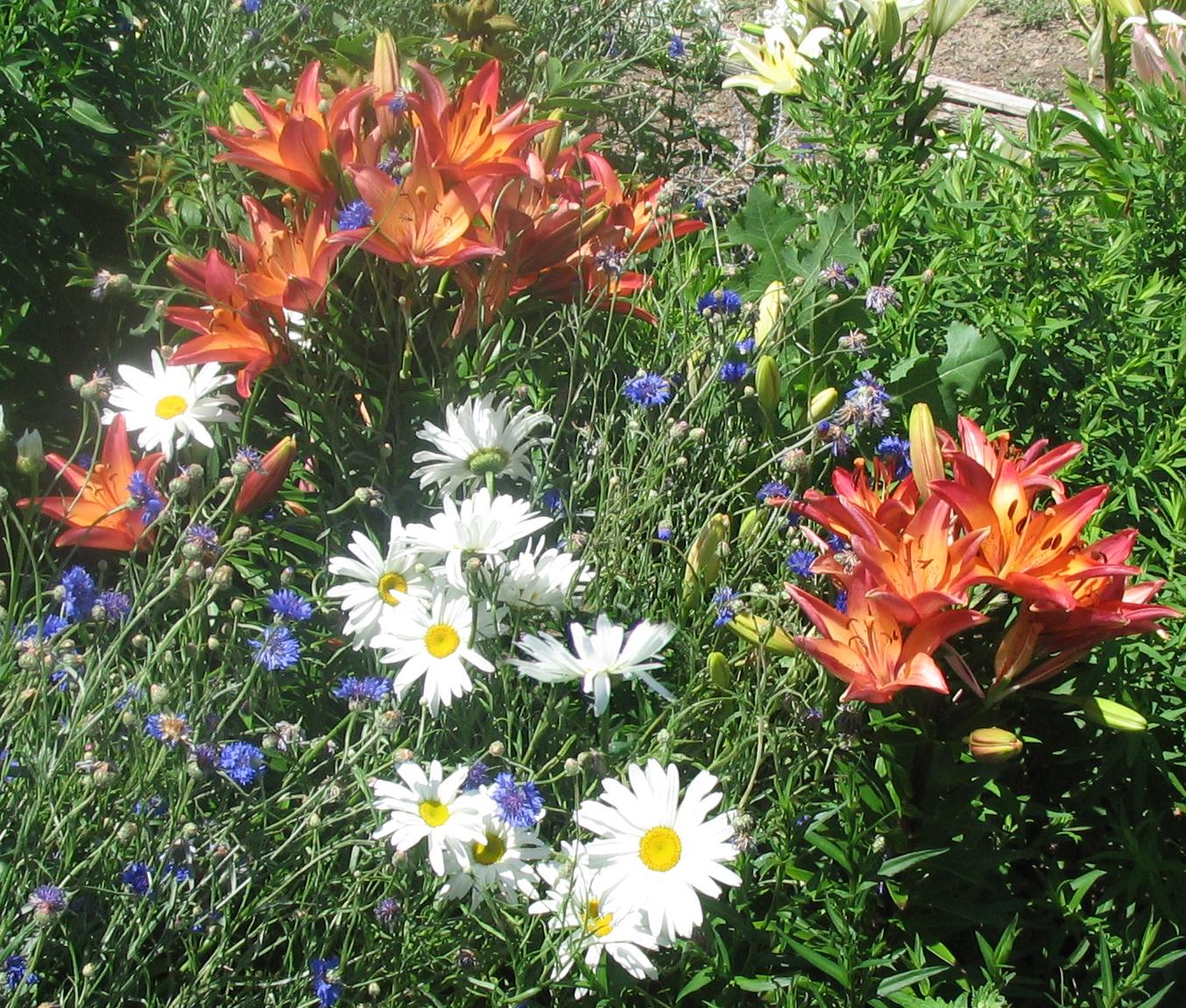 Посадка и пересадка лилий осенью - Садовые цветы 67