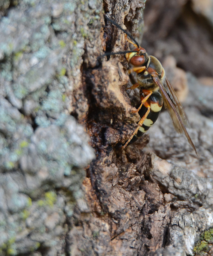 Cicada Killer Wasp (Sphecius sp.)--a very large wasp measuring almost 2 inches