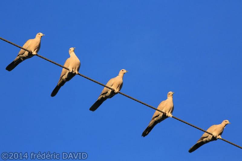 ciel oiseaux tourterelles fil perchoir Seine-et-Marne