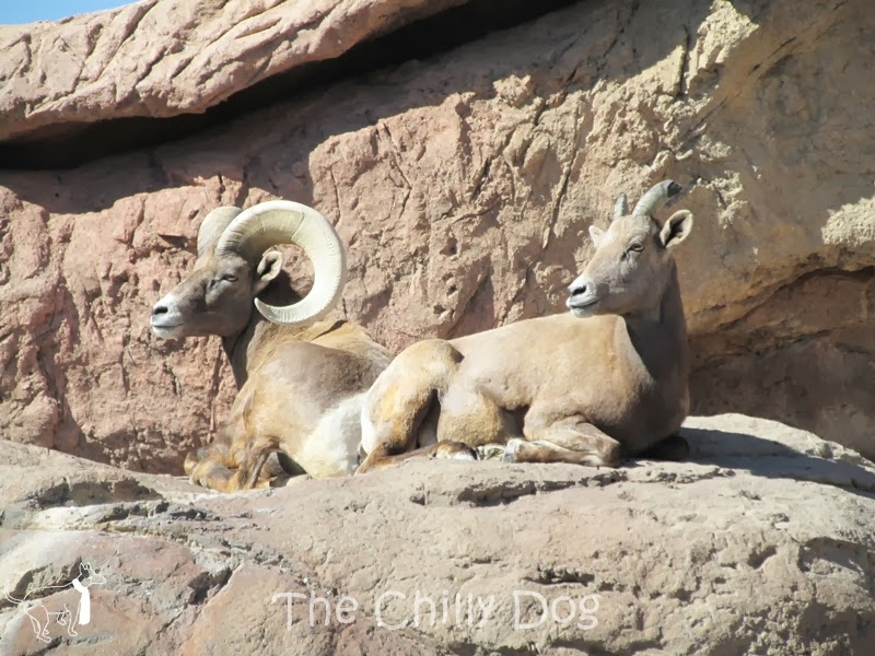 Field Trip: Arizona-Sonora Desert Museum - Bighorn Sheep