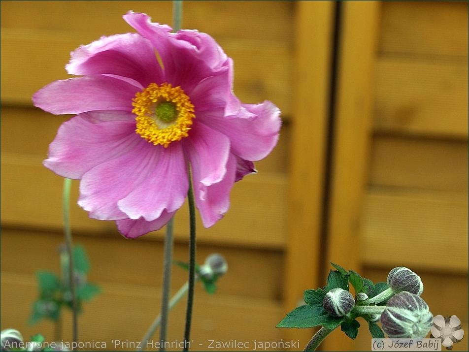 Anemone hupehensis var. japonica 'Prinz Heinrich' - Zawilec japoński 'Prinz Heinrich'  pąki