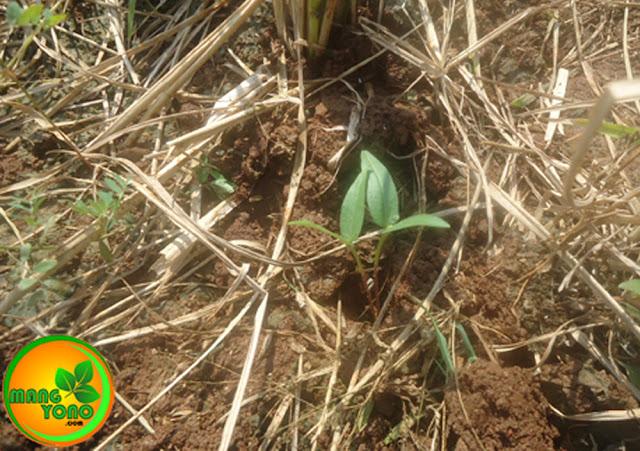 Pengaruh cahaya pada pertumbuhan tanaman
