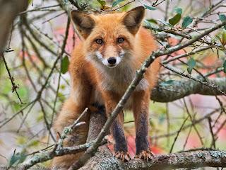 Crvena lisica slike besplatne pozadine za desktop download