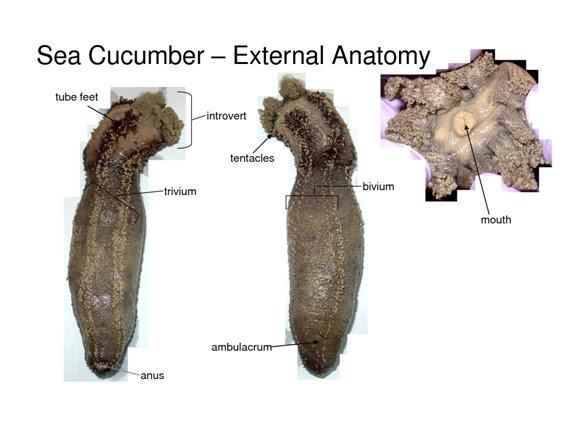 3.- Disecciones de Equinodermos (Holoturia y Erizo) y Anelido ...