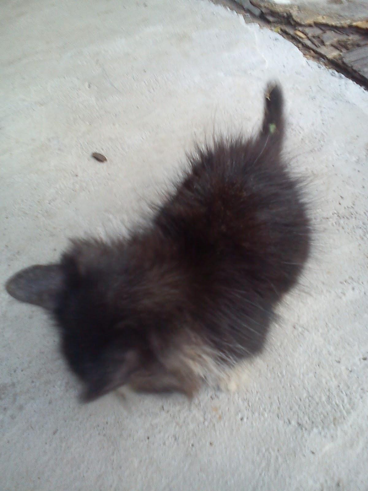 Rectal Prolapse Kitten Hafiz Scratch Petfinder My