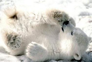 Oso polar cachorro jugando en la nieve