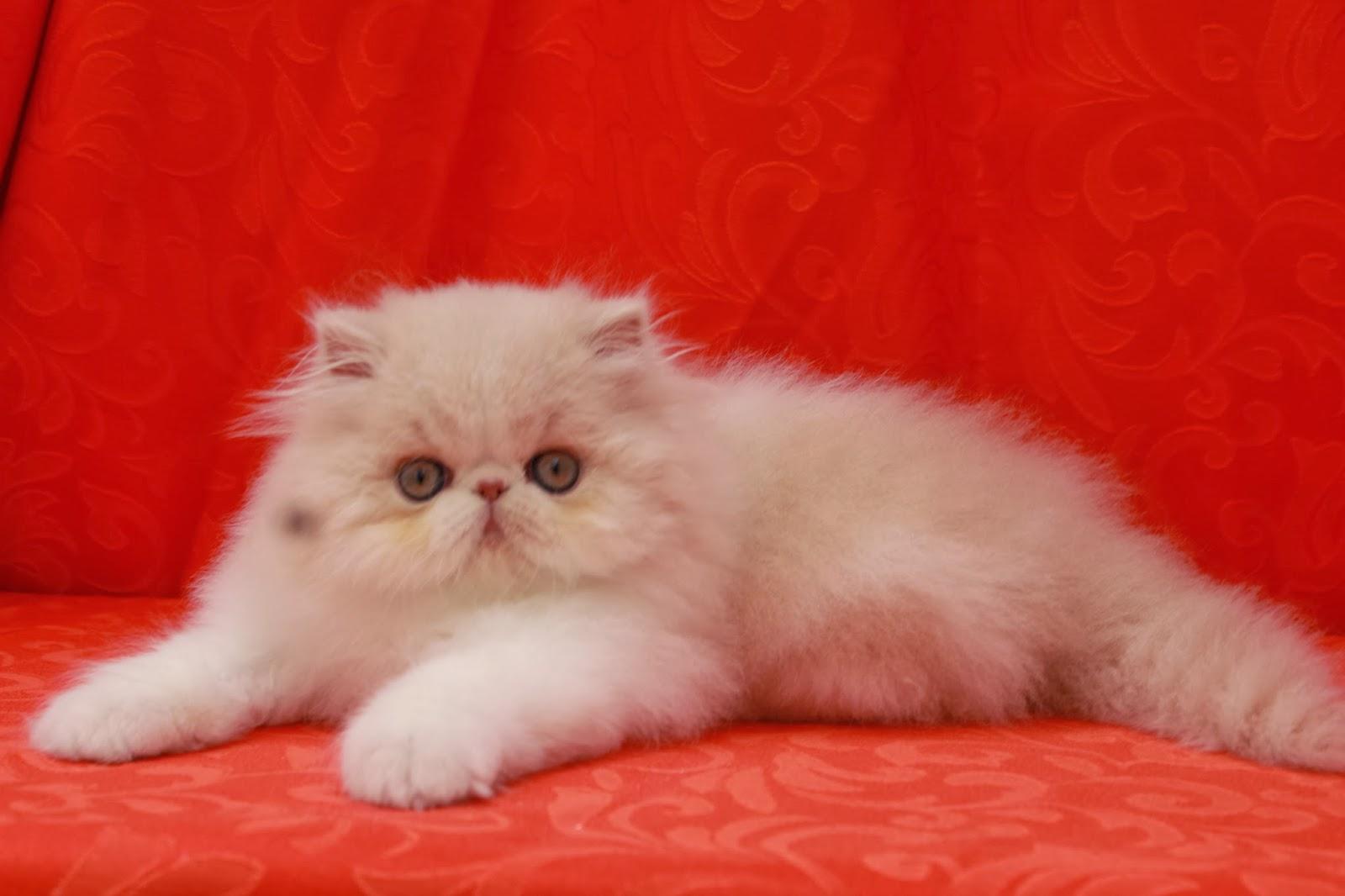 Gato persa pelo corto colombia