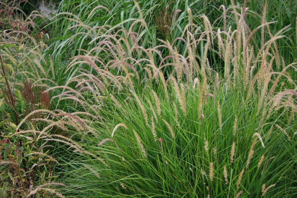 Grow ornamental grasses for Names of ornamental grasses