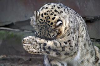 leopardo-das-neves-fatos-curiosidades