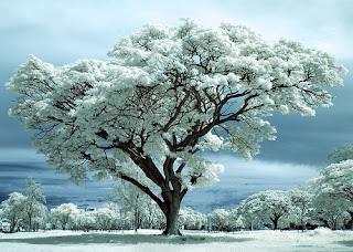 Arbol cuajado de nieve