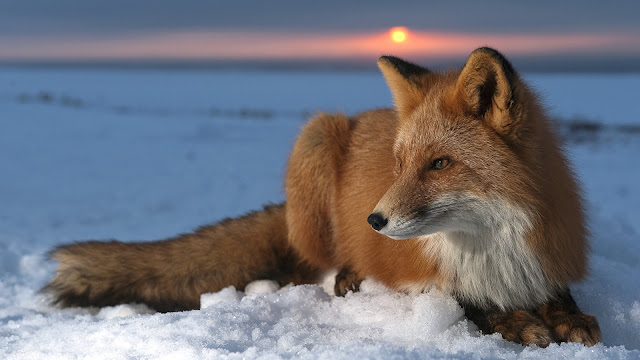 Fox in Winter 3