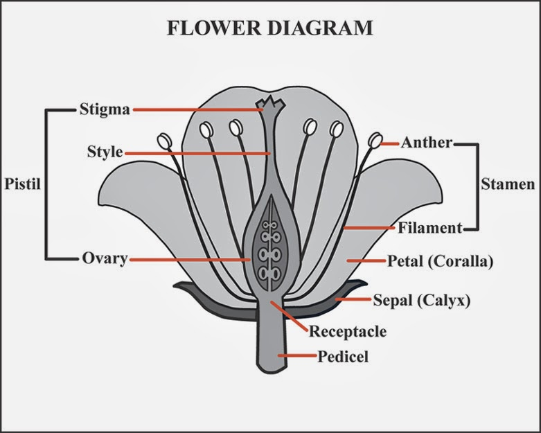 7th grade science flower parts diagram download wiring diagrams 7th grade science 2013 14 cross pollination and parts of a flower rh cuthbert7thgradescience2013 14 blogspot com middle school flower parts diagram male ccuart Image collections