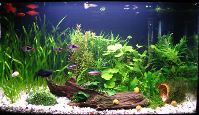 Naci n 84 como poner un acuario sin broncas for Lista de peces tropicales para acuarios